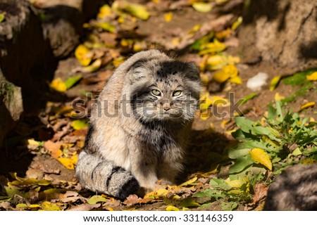 portrait of beautiful cat, Pallas's cat, Otocolobus manul resting in its habitat, looking for prey - stock photo