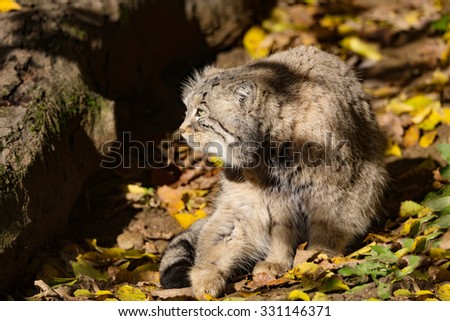 portrait of beautiful cat, Pallas's cat, Otocolobus manul resting in its habitat, looking for prey - stock photo