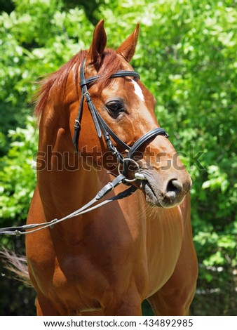 Portrait of  beautiful chestnut stallion  on natural background