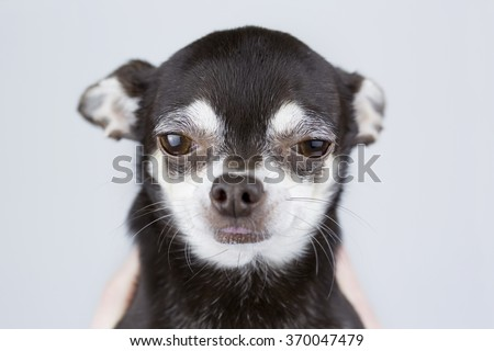 portrait of beautiful chihuahua dog isolated on grey background - stock photo