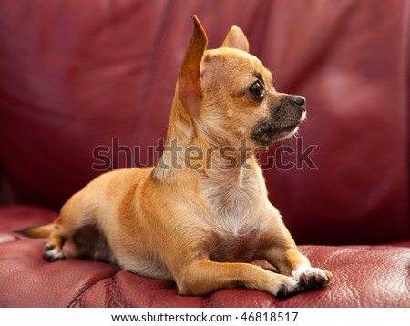 Portrait of Beautiful Chihuahua Dog Laying On A Red Leather Couch, Looking Right Ears Up
