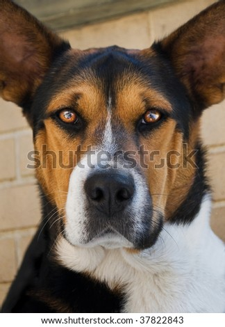 portrait of beautiful dog looking into camera, focus on eyes - stock photo