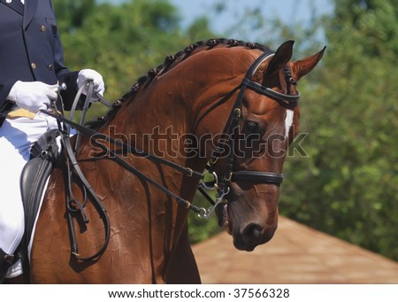 portrait of beautiful dressage horse in motion - stock photo