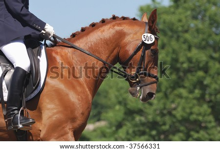 portrait of beautiful dressage horse in motion