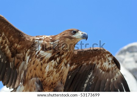 Portrait of beautiful eagle ready to take-off - stock photo