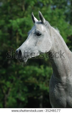portrait of beautiful gentle white arabian horse - stock photo