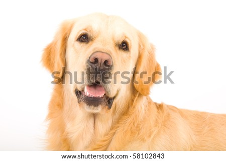 Portrait of beautiful Golden Retriever on white background