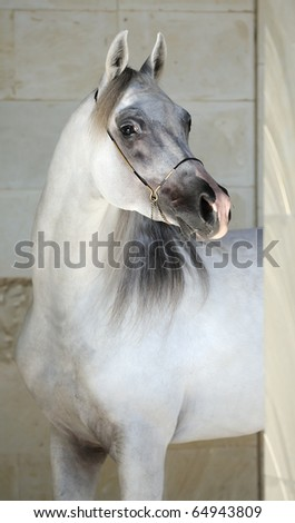 portrait of beautiful gray arabian horse - stock photo