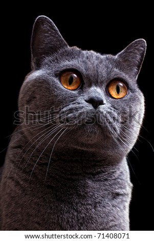 Portrait of beautiful gray British cat with bright yellow eyes on black background closeup - stock photo