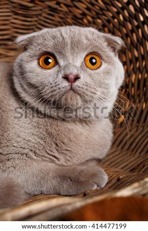 portrait of Beautiful gray cat with yellow eyes Scottish Fold closeup - stock photo
