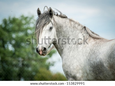 Portrait of beautiful gray shire horse - stock photo
