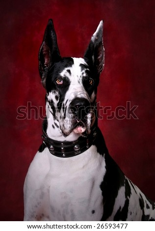 Portrait of Beautiful Great Dane - stock photo