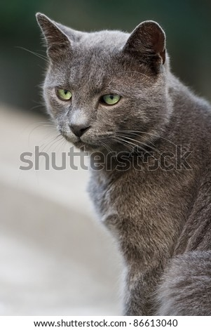 Portrait of beautiful grey cat with green eyes - stock photo