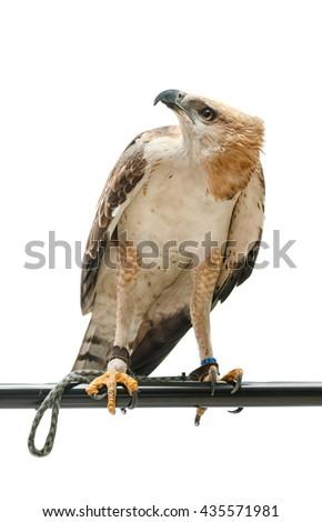 Portrait of beautiful hawk,Changeable Hawk Eagle (Nisaetus limnaeetus) - stock photo