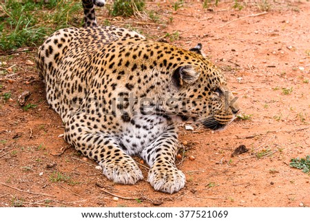 Portrait of beautiful Leopard at the Naankuse Wildlife Sanctuary, Namibia, Africa - stock photo