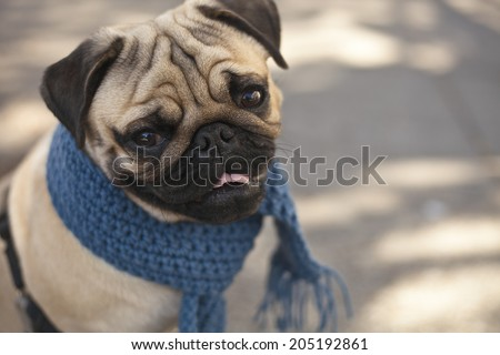 Portrait of Beautiful male Pug puppy dog with blue scarf siting in front of the grass background, Dog autumn fashion, City landscape with graffiti - stock photo
