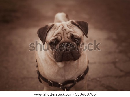Portrait of Beautiful male Pug puppy sad dog sitting in front of the dark nature landscape background
