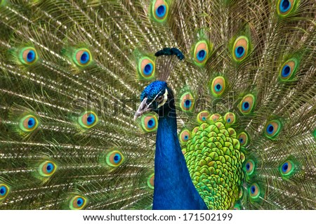 Portrait of beautiful peacock with feathers out