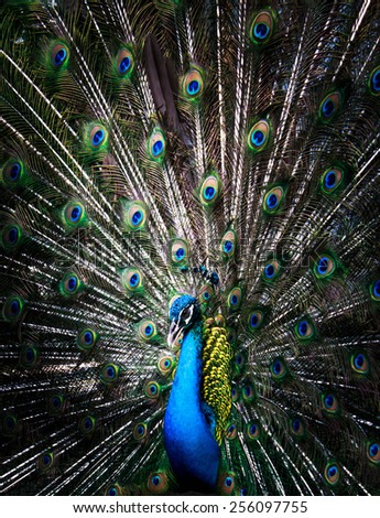 Portrait of beautiful peacock with feathers out.  - stock photo