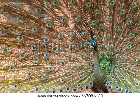 Portrait of beautiful peacock with feathers out - stock photo