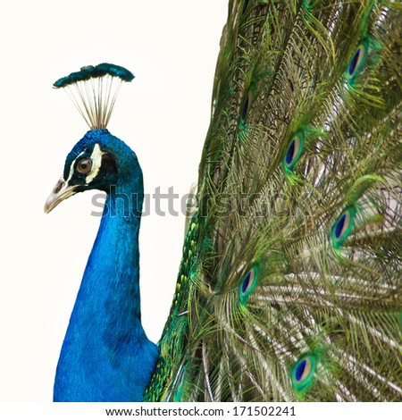 Portrait of beautiful peacock with feathers out on white background - stock photo