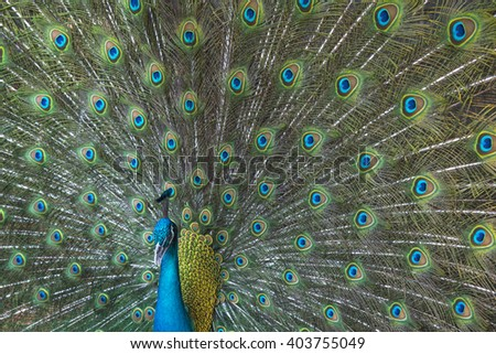 Portrait of beautiful peacock with feathers out , spread tail-feathers - stock photo