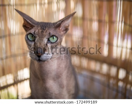 Portrait of beautiful peterbald sphynx cat.
