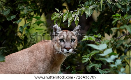 cougar stock images royaltyfree images amp vectors