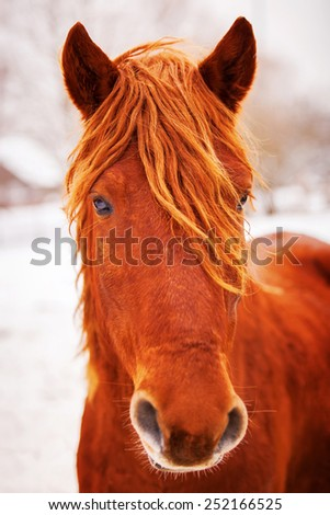 Portrait of beautiful red horse in winter outdoors.? Russia farm - stock photo
