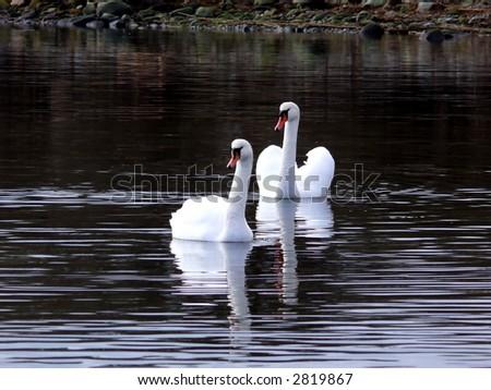 portrait of beautiful swans (Cygnus olor) swim in calm water - stock photo