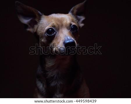 Portrait of beautiful toy terrier on a dark background studio shot. - stock photo