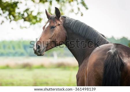 Portrait of beautiful warmblood horse looking back - stock photo