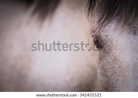 portrait of beautiful white horse  - stock photo