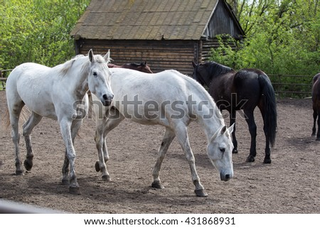 Portrait of beautiful white horse in summer - stock photo