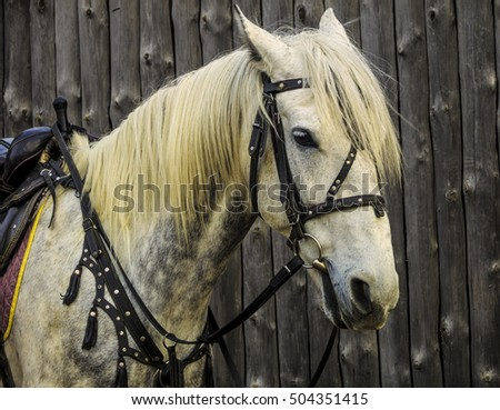 Portrait of beautiful white horse. Riding on a horse. Thoroughbred horse. Friendly horse.