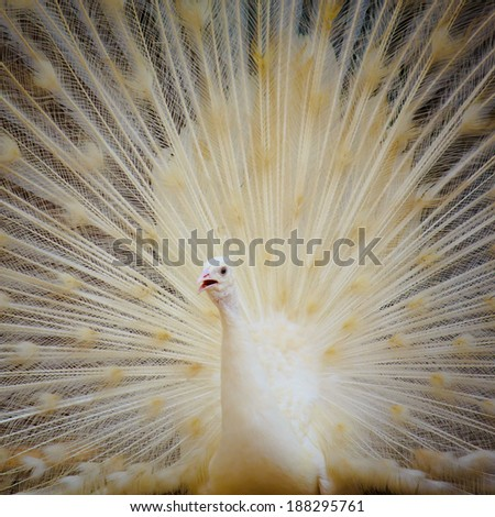 Portrait of beautiful white peacock with feathers out