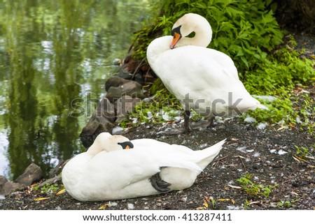 Portrait of beautiful white swan outdoor - stock photo