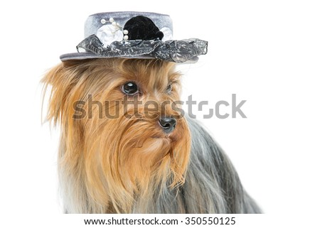 Portrait of beautiful yorkshire terrier dog in fancy grey hat. Looking to the side. Isolated over white background. Copy space. - stock photo