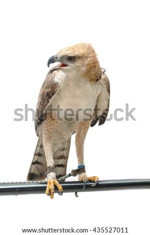 Portrait of beauty hawk  - stock photo