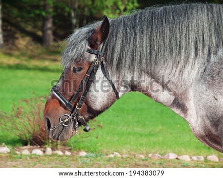 Portrait of Belgian draught horse.