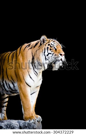 Portrait of bengal tiger in the zoo isolated on black background. His figure makes this exhibit 'wild' and accessible by his great image.