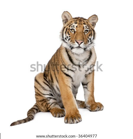 Portrait of Bengal Tiger, 1 year old, sitting in front of white background, studio shot, Panthera tigris tigris - stock photo