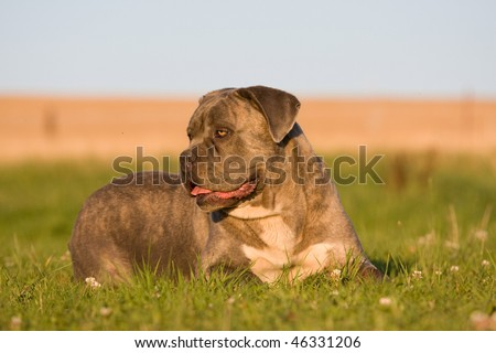 Portrait of big dog - cane corso - stock photo