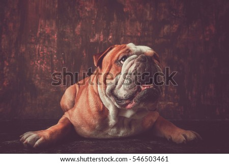 Portrait of big English bulldog pup