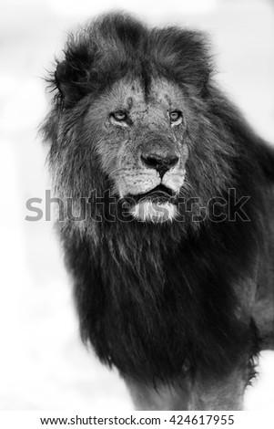 Portrait of big Lion of Rekero Pride in Masai Mara, Kenya - stock photo