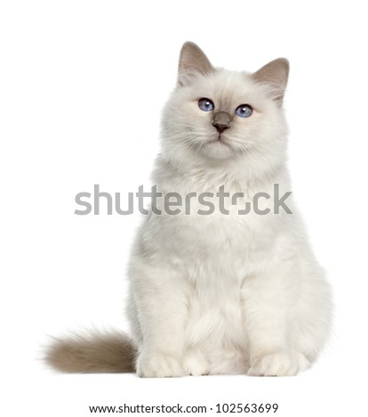 Portrait of Birman cat, 6 months old, sitting in front of white background - stock photo