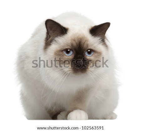 Portrait of Birman cat, sitting in front of white background - stock photo