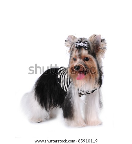 Portrait of biver yorkshire terrier dog isolated on white. Full body half turn and looking aside. Pretty small dog. - stock photo