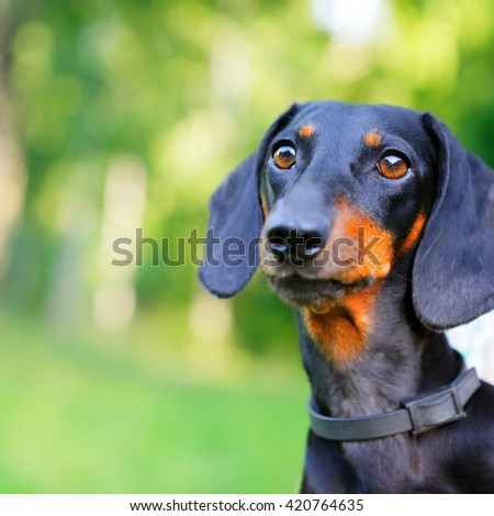 Portrait of black and red dachshund closeup against nature background - stock photo