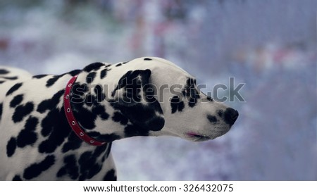 Portrait of black and white dalmatian dog breed on a background of the first snow - stock photo